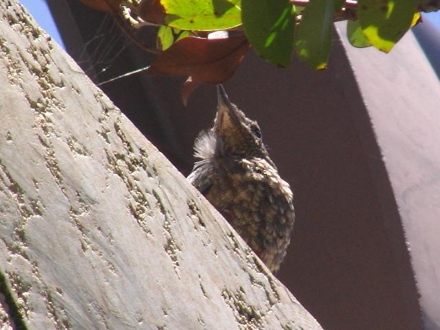おやっ?、ほっぺに綿毛が付いていますよ?、このイソヒヨドリ(ツグミ科)は、まだ巣立ったばかり?、そういえば飛び方も少し、おぼつかない・・・。