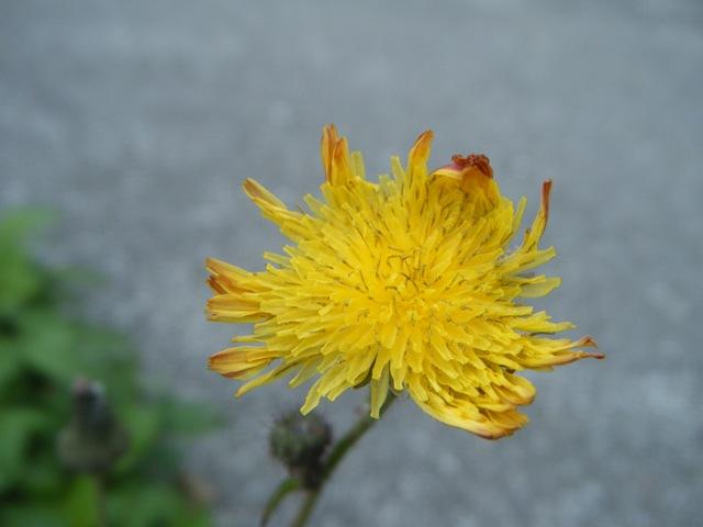 タイワンハチジョウナ(キク科・ハチジョウナ属)。少し赤い「縁どり」の花。