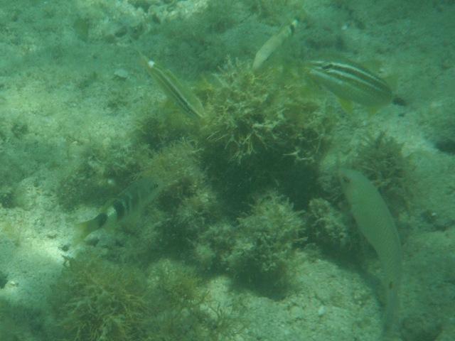 「異種」たちが群れをなして、海底の藻に付着したの餌をあさる。左下と一番上、オジサン(ヒメジ科)、右下、ミツボシキュウセン(ベラ科)。その他の縦じまは、名前わからず。