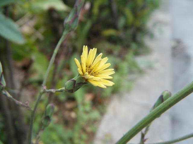 アキノノゲシ(キク科・アキノノゲシ属)。そろそろ「春」、なのに?