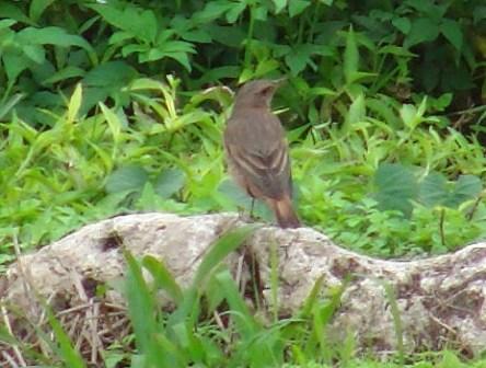 ツグミ(ツグミ科)のメス、と思われる鳥。後ろ姿。少し傾く。翼のストライプ模様が、これまた、オスとは異なるので、・・・。