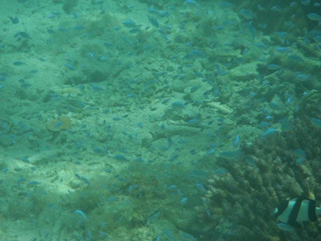 枝状サンゴから、一斉に「飛び出し」た、デバスズメダイ(スズメダイ科)群。「親」も「子」も、大小取り混ぜて。右下にミスジリュウキュウスズメダイ(スズメダイ科)。