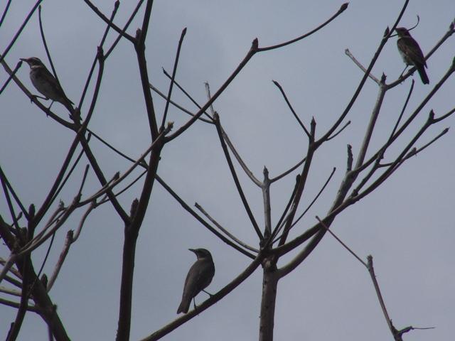 一本の木にツグミが、二羽、と思ったら、三羽。あれ、左右は間違いなくツグミ(ツグミ科)、「夫婦」?、中央の一羽、これが、悩ましいツグミ/アカハラ問題!、で、マミチャジナイ(ツグミ科)、で、どうだ?