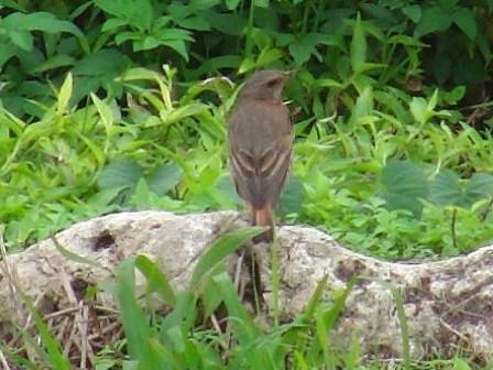 ツグミ(ツグミ科)のメス、と思われる鳥。後ろ姿。真後ろ。あ、尻尾が隠れた。