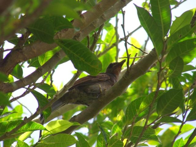 今日も「嘴の黄色い奴♪」発見。ガジュマル(クワ科イチジク属)の木の中で、食事中?、ヒヨドリ(ヒヨドリ科)、幼鳥。上の方の果実を「狙って」いる?