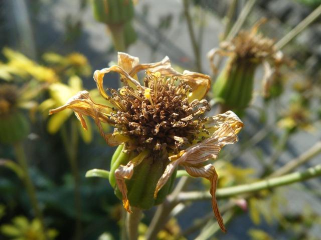 ツワブキ(キク科)。「盛り」の花は、あまりにつやつやして、「園芸植物」っぽい、気がしたものだから・・・。
