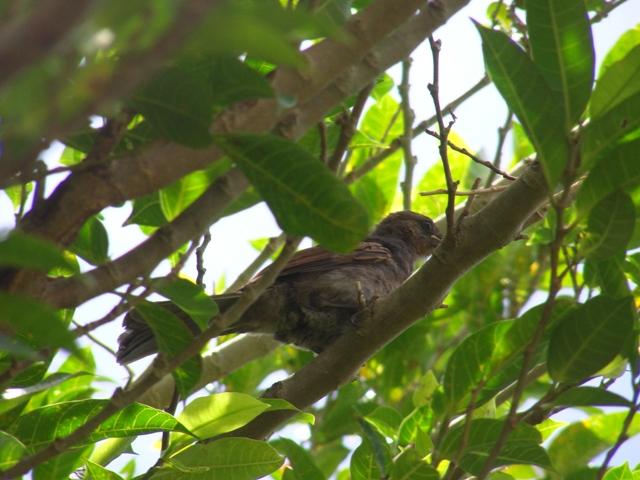 今日も「嘴の黄色い奴♪」発見。ガジュマル(クワ科イチジク属)の木の中で、食事中?、ヒヨドリ(ヒヨドリ科)、幼鳥。今度は、下の方?