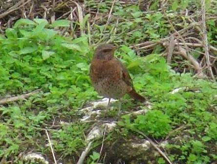ツグミ(ツグミ科)のメス、と思われる鳥。前から。首のあたりはオレンジ色、腹は「白い」ものの、やはりシロハラ(ツグミ科)とは違う。