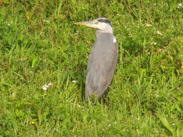 久しぶりの早朝散歩。多くの「冬鳥」が去られたようですが、まだいらっしゃいました。アオサギ(サギ科)。じゃまをしないように、そぉーっと。