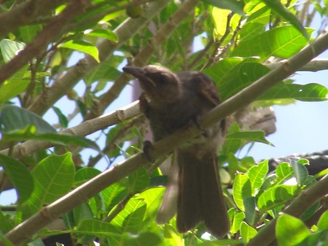 今日も「嘴の黄色い奴♪」発見。ガジュマル(クワ科イチジク属)の木の中で、食事中?、ヒヨドリ(ヒヨドリ科)、幼鳥。眼が「ぎょろり」として、だからすぐ「子供」とわかる。