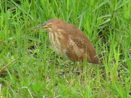 今年初めて発見♪、「留鳥」なのに・・・。リュウキュウヨシゴイ(サギ科)。横向き。