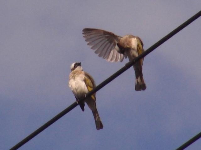 久しぶりの早朝散歩。「繁殖期」!、なのか?、電線上シロガシラ(ヒヨドリ科)、ペア。ひろげた翅に空が透けて見える。