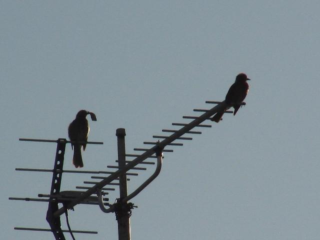 快晴♪、早朝!、お、これは「夫婦」、一羽の咥えているのは「巣材」?、「繁殖期」、ヒヨドリ(ヒヨドリ科)。