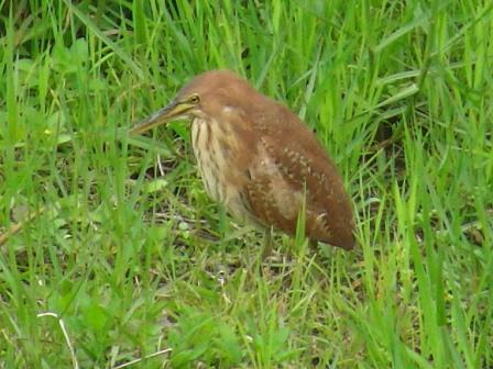今年初めて発見♪、「留鳥」なのに・・・。リュウキュウヨシゴイ(サギ科)。やや下向き。