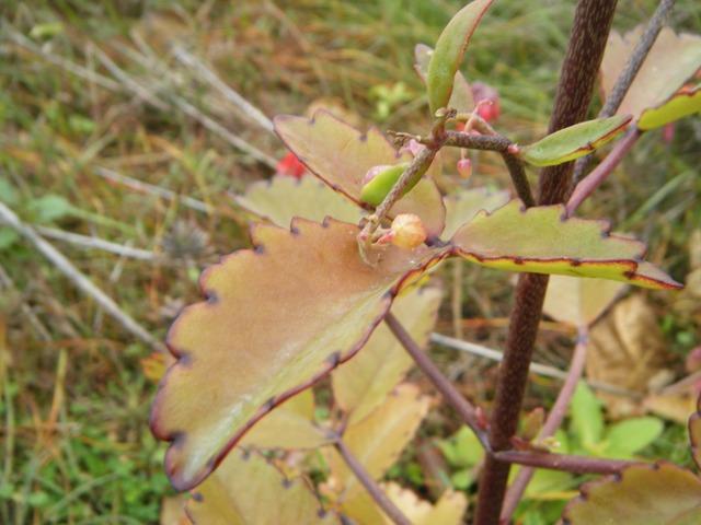 ベンケイソウ科(Crassulaceae)「新種」発見♪、セイロンベンケイ。いかにも「多肉質」、の葉。落ちた葉から「無性生殖」もできるんだって!