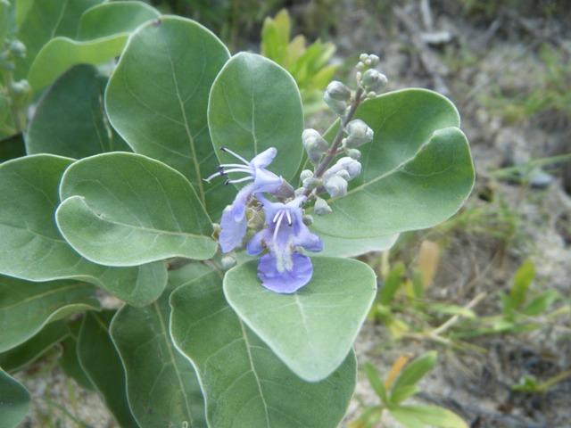 海岸植物、ハマゴウ(クマツヅラ科)。