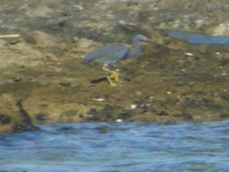 水から上がると、眼前に、クロサギ(黒色型・サギ科)がいた。海中に持ち込む「ウォター・プルーフ」の小さなデジカメだから、不鮮明だけど、・・・。