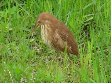 今年初めて発見♪、「留鳥」なのに・・・。リュウキュウヨシゴイ(サギ科)。下向き。