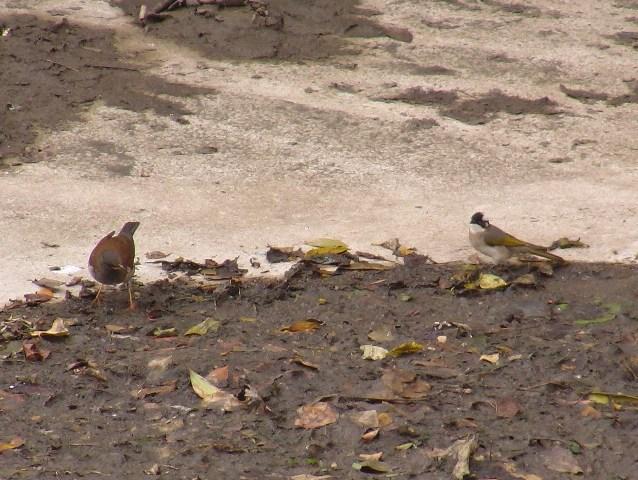 Unusual_Neighbors。これは、めずらしい組み合わせ。しかもここは干上がった堤の泥土、普段は「水鳥」たちの「なわばり」。左、シロハラ(ツグミ科)、右、シロガシラ(ヒヨドリ科)。
