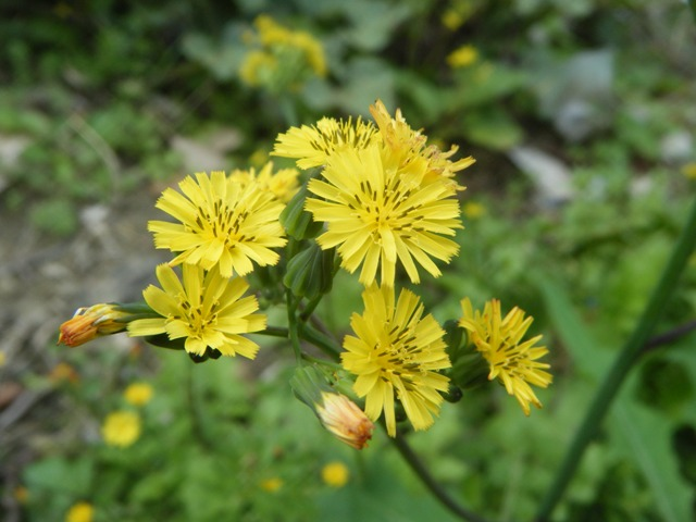 オニタビラコが、一斉に、咲いた。オニタビラコ(キク科)は、年中、咲いている。でも、年に一度、「一斉に」咲く日が、あるのだ・・・。