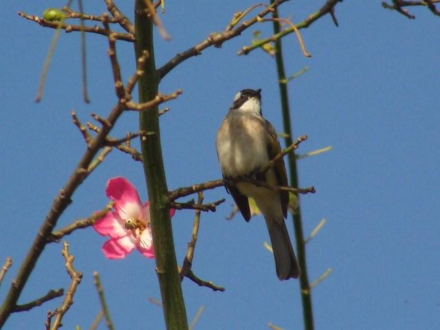 「南国」、梅に鶯、ではなく、トックリキワタに、シロガシラ(ヒヨドリ科)。ところで、トックリキワタって、何科?、今度調べなきゃ…。左向き。