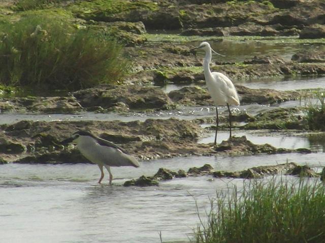 海辺のサギ類・四種!、左:ゴイサギ(サギ科)、「留鳥」。右:コサギ(サギ科)、「冬鳥」だが、最近この島で営巣、育雛しているのが見つかった、と「新聞」に出てた。