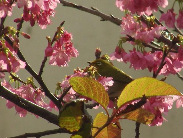 今日は、少しだけ、日が差した!、サクラと、メジロ(メジロ科)。これは「緋寒桜」だろうか?、少しだけ、葉も出ている。