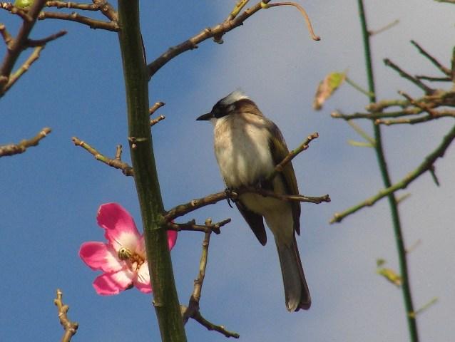 「南国」、梅に鶯、ではなく、トックリキワタに、シロガシラ(ヒヨドリ科)。ふたたび、青空が顔を出した日。右向き。
