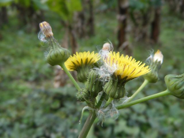 「Sonchus」ノゲシ属(ハチジョウナ属)・二態!、ノゲシ、または、ハルノノゲシ(キク科・ハチジョウナ属Sonchus)、「花梗」が短く、花の付け根に葉がある。花、そして、すでに綿毛。