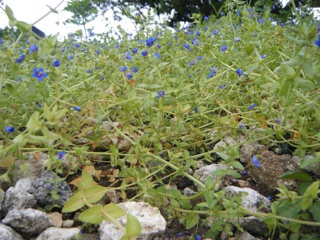 ルリハコベ(サクラソウ科)、背の低い小さな「雑草」が、一斉に咲けば、ど・れ・も・、「田平子」風♪、と言えなくもない。