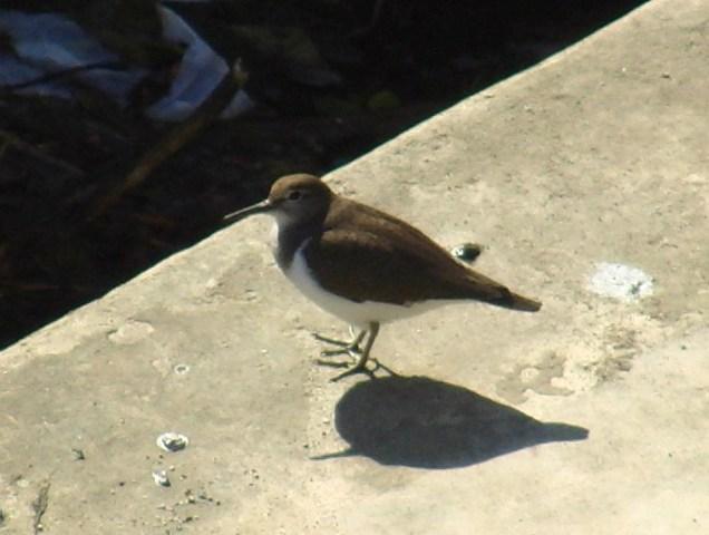 イソシギ(シギ科)。「忙しい」鳥だから、なかなか近くからは撮れない。