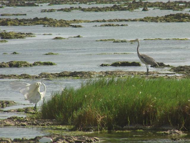 海辺のサギ類・四種!、今度は「入れ替わって」、左:コサギ(サギ科)、右:アオサギ(サギ科)。どちらも「冬鳥」だが、現に、こうして、「夏」になっても、いらっしゃるから・・・。