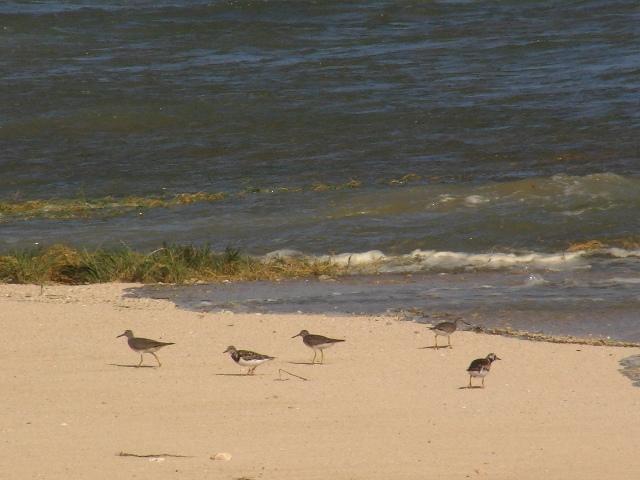 「大潮」の「満潮」、砂浜に「追いやられた」シギ類。左から、キアシシギ(シギ科)、キョウジョシギ(シギ科)・雌、キアシシギ、キアシシギ、キョウジョシギ・オス、・・・。「異種」なんだけど・・・。