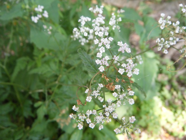 「新種」発見♪、これが、ヤブジラミ(セリ科)の花。「春の七草」セリ、かと思った。
