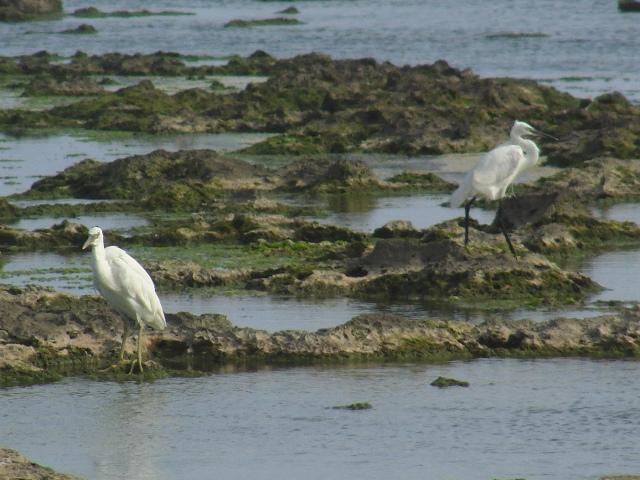 海辺のサギ類・四種!、すれ違い「異種」。左:クロサギ(白色型・サギ科)、「留鳥」、足全体が黄色で太め。くちばしも同様。右:コサギ(サギ科)、「冬鳥」、嘴も足も黒くて細い。
