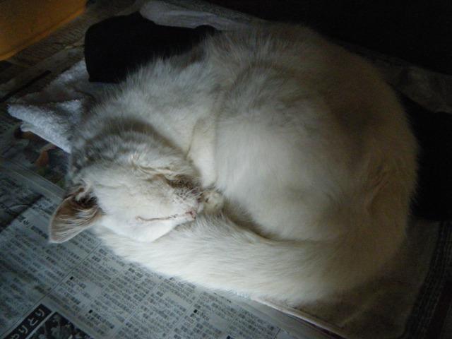 オーちゃん♪、弱っているけれど、こうして丸くなって眠るのは、いつも通り!