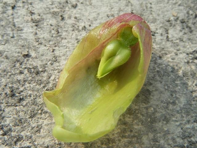 セイロンベンケイ(ベンケイソウ科)、に「異変」(!)が・・・。落ちてしまっていた「花」を、「解剖」してみると・・・。なるほど、これが「成長」して、「殻」を破・っ・て・、はみ出してきたのだ!