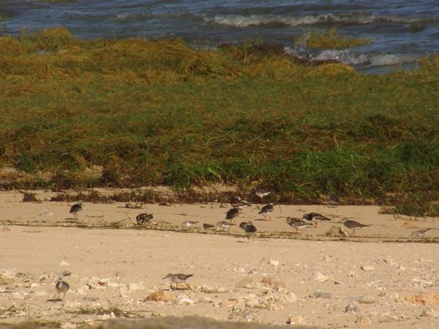 「大潮」の「満潮」、岩礁も、砂浜の際まで生えているコウライシバもすべて水面下に隠れる。ほら、シギ類はこうして「狭い」砂浜に追いやられて、「異種」達が並んで波打ち際の貝類などを食べているぞ。