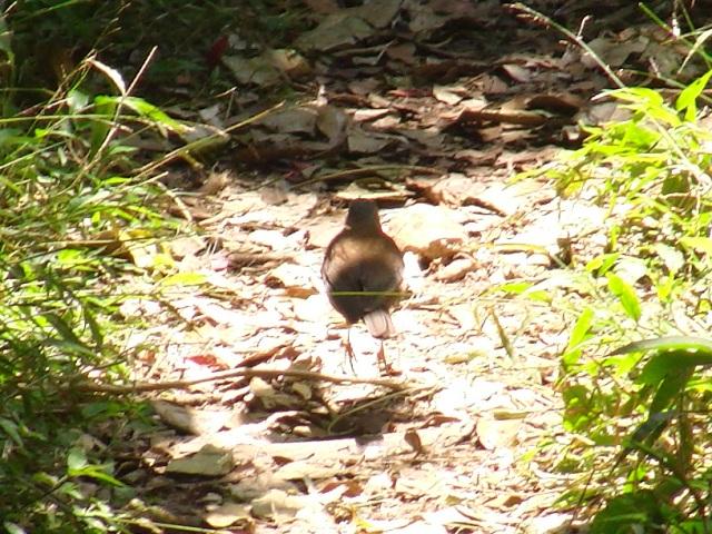 ツグミ、アカハラ、マミチャジナイ、ツグミ科三種は、もう旅だったようだ。お、シロハラ(ツグミ科)、うちの近くでは見かけなくなったが、こんな「城跡」の森の中には、まだ…。