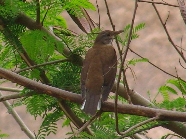 ギンネム樹上の、シロハラ(ツグミ科)。地味な茶色の翼は、土の上では保護色だが、緑の葉の上では、目立つ。