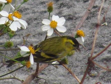 マヒワ(アトリ科)、シロノセンダングサ(キク科)、の花、なのか、種子なのか、どちらが「目的」かは不明だが、さかんについばんでいた。