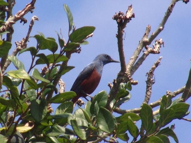 「夏」の「留鳥」もう一つの主役。イソヒヨドリ(ツグミ科)、オス。木の実を食べたりはしなさそうだから、樹木は「ソングポスト」、ヒヨドリとは違って、かならず、てっぺんにとまる。