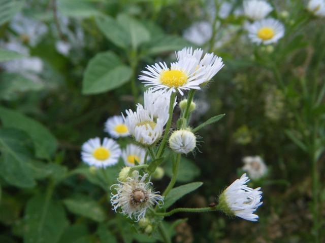 ヒメジョオン(キク科)。咲き終わると、この細い花びらは「くしゃくしゃ」になるのだな。