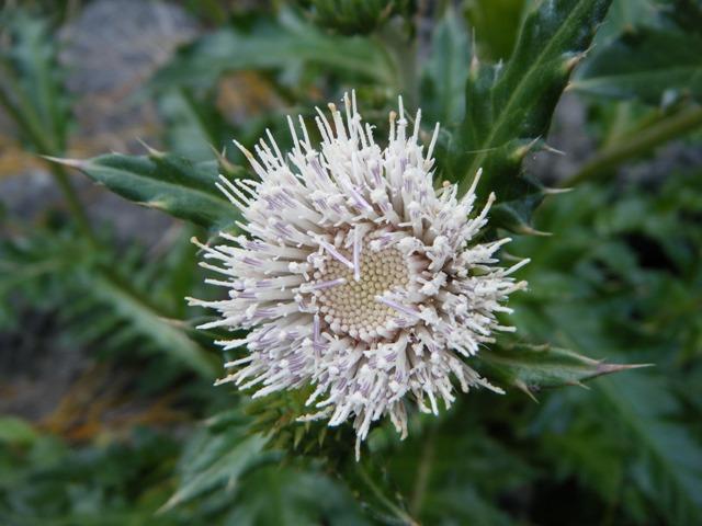 「擬・春」のような、快晴、に誘われて、海へ♪、シマアザミ(キク科)、「とげとげしい」花だが、だんだん、「好き」になってきた!