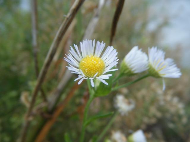 ヒメジョオン(キク科)。黄色い花粉の間から、白い雌蕊の柱頭が、「はみ出して」いるぞ。