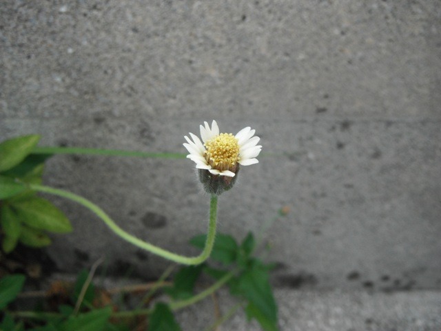 ハキダメギク(コゴメギク科)。「窒素分の多い」、まさに、「掃きだめ」的な場所が「好み」のようで、いつも、同じ場所に、必・ず・、咲いている。