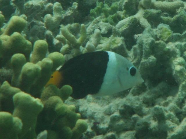 こんなに鮮やかな色合いで、目の隈どりが真っ黒で、・・・、一度見たら忘れられない。でも名前がわからない・・・。これは多分幼魚。