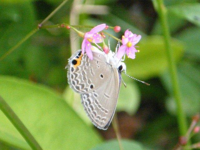 ウラナミシジミ(シジミチョウ科)、ON、ハゼラン(スベリヒユ科)。夕方に、咲く、花。