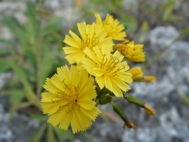 「擬・春」のような、快晴、に誘われて、海へ♪、これは、多分、ホソバワダン(キク科)、花びらは、ジシバリより、尖っている。オニタビラコを一回り大きくした感じだが、葉が全然違う。