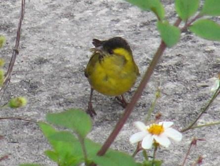 マヒワ(アトリ科)。正面から。腹の面まで、鮮やかに黄色いのが、わかる。ところで「ひわ・鶸」、「弱い」、「鳥」、なのか?、「魚」なら、「いわし・鰯」・・・。では、「つぐみ・鶫」、「ひよどり・鵯」は?